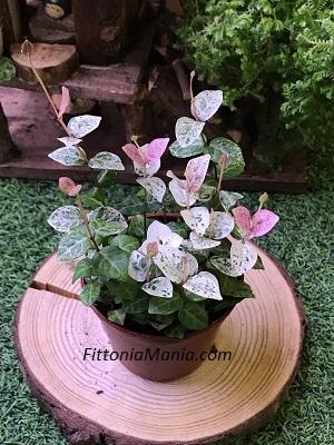 Tricolor Asian Jasmine Trachelospermum Asiaticum Fittoniamania