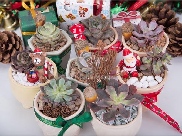 Christmas Succulent Gift.Christmas Gift Fittoniamania