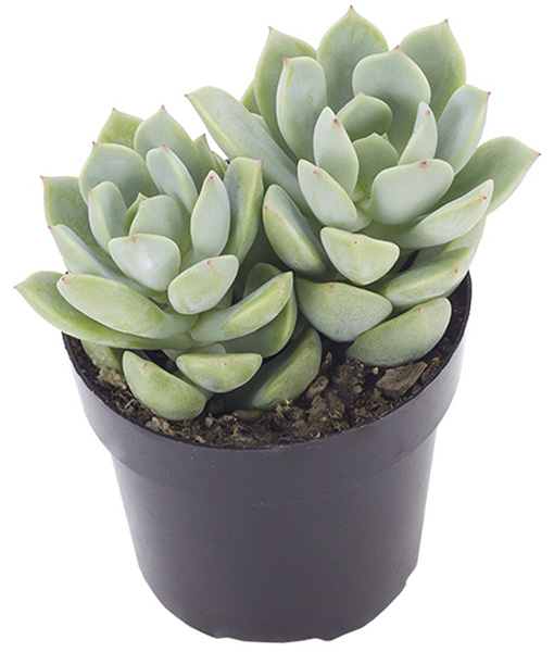 Regular Graptoveria 'Tibutans'