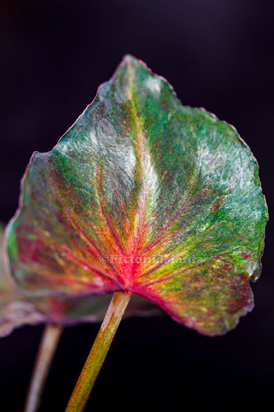 Portrait of another Caladium forest leaf.